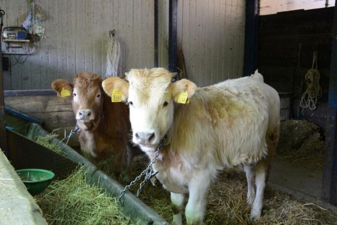 Mucche agriturismo fattoria Protte vicino Spoleto