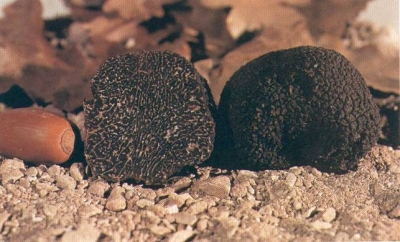 Umbrian black truffle