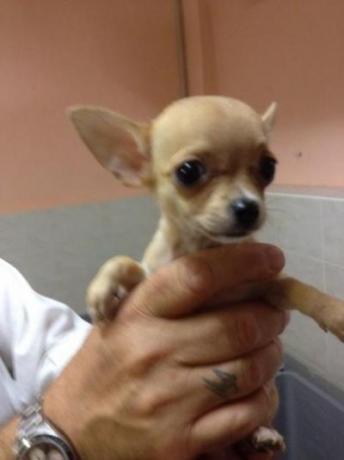 Chihuahua a prezzi economici  garanzie e vaccini