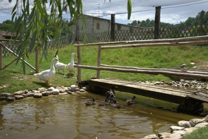Cigni nel laghetto