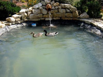 Germani Reali a bagno nel laghetto