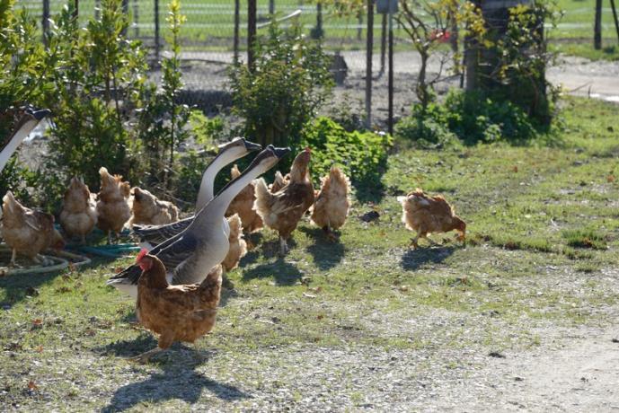 Oche e galline fattoria agriturismo vicino Spoleto