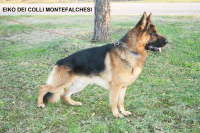 Allevamento E Cuccioli Pastore Tedesco In Umbria Cani Maschi E
