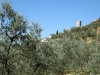 Veduta ulivi in campagna
