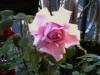 Vivaio produzione e vendita rose