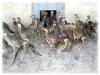 caccia-fagianotti