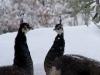 pavoni tra la neve a Monestevole