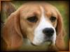 beagle da esposizioni