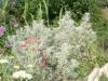 produzione e vendita Artemisia arborescens