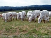Allevamento bovini