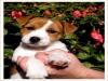 cuccioli jack russel terrier alta genealogia