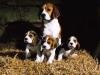 beagle linee di sangue da lavoro e bellezza
