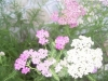produzione e vendita Achillea millefolium Alborose