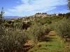 Gli olivi