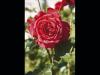 Festa della Rosa e delle Rite 2018