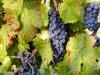 Produzione vino Sagrantino