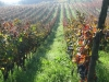 filari di uva di sagrantino