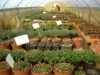 Thymus coltivazione