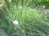 produzione e vendita Allium schoenophrasum