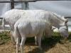 white donkeys from Asinara