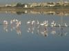colonies of flamingos in Santa Gilla