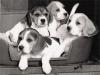 cuccioli di beagle figli di campioni