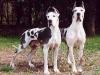 cuccioli-allevamenti-selezionati-alano