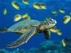 Tartarughe marine giganti in piscina