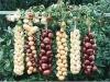Onions varieties