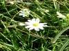 Fiore della Fioritura di Castelluccio