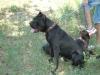allevamento-amatoriale-cane-corso