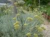 produzione e vendita Helichrysum splendidum