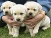 cuccioli labrador con pedigree