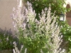 Salvia sclaraea