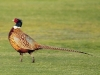caccia al fagiano in riserva